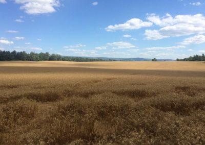 hay field unbaled